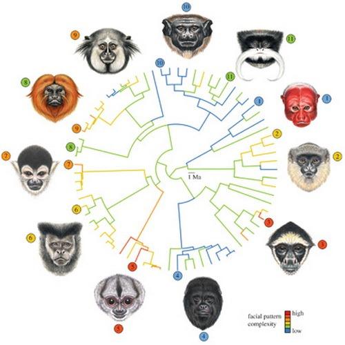 Откуда у приматов столько лиц?