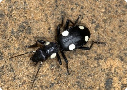 Жук-домино Anthia sexguttata