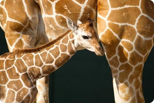 Жираф из Флориды