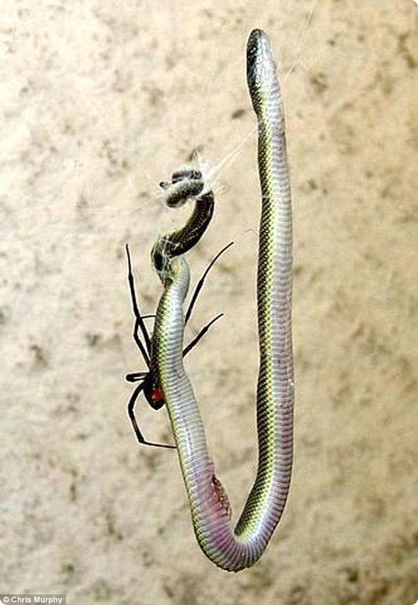 Паук поедает змею!