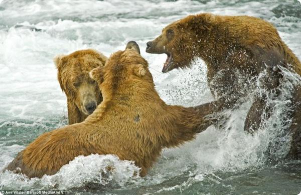 Медведи-гризли на рыбалке