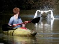 Лебедь-задира по прозвищу Тайсон