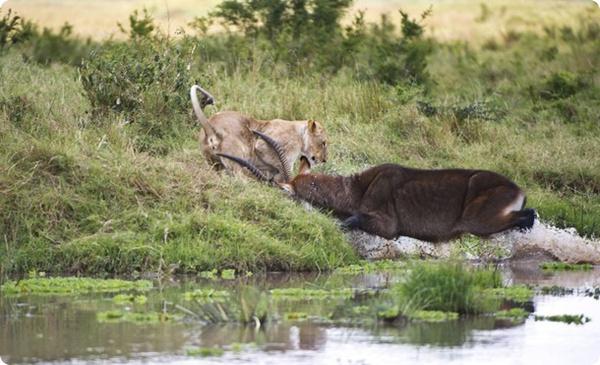 Схватка львицы и водяного козла!