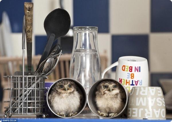 Нет худа без добра: осиротевшие совята нашли новый дом