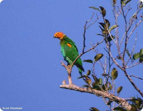 Лысый попугай - Pyrilia aurantiocephala