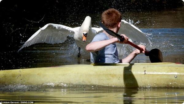 Лебедь по прозвищу Тайсон