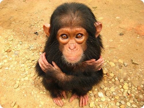 Шимпанзе более генетически разнообразны, чем люди
