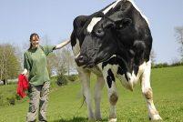Чилли — самый крупный и высокий бык