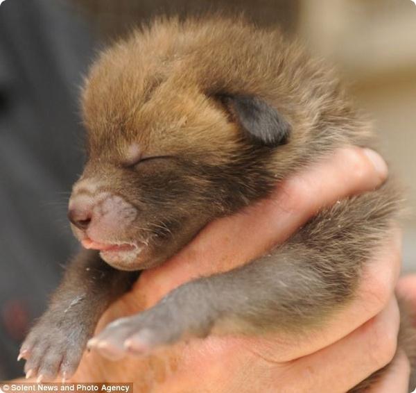В Суррее род кустом был найден пятидневный лисёнок
