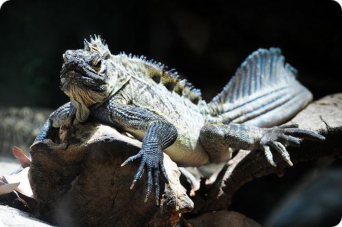 Филиппинская парусная ящерица (Hydrosaurus pustulatus)