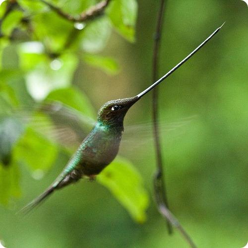 Мечеклювый колибри