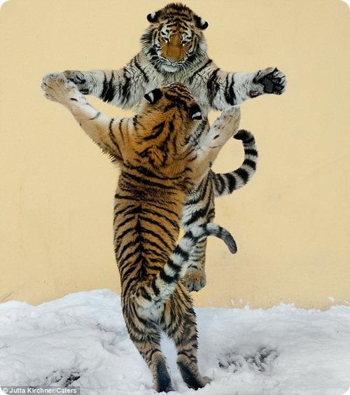 Тигриное танго