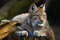Цена свободы: рысь заманили в зоопарк валерьянкой