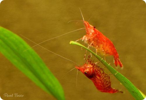 Пресноводные креветки