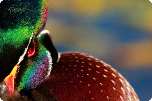 Каролинская утка или каролинка