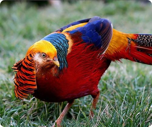фото фазан птица