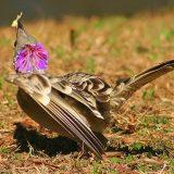 Большая беседковая птица