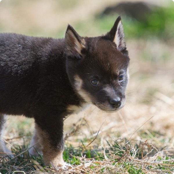 В зоопарке Индианы щенки динго начинают осваивать мир
