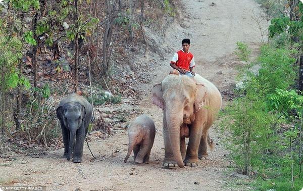Белые слоны Бирмы