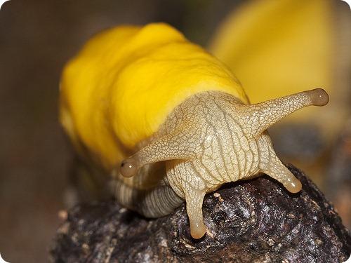 Банановый слизень (лат. Ariolimax)