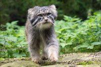 Семь манулов обживают Московский зоопарк