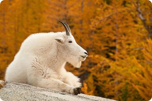 Снежные козы Oreamnos americanus