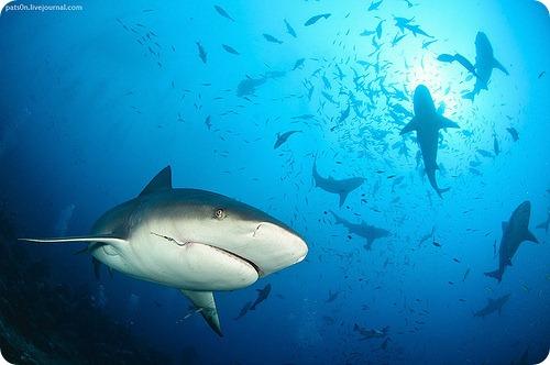 Бычья акула или акула-бык