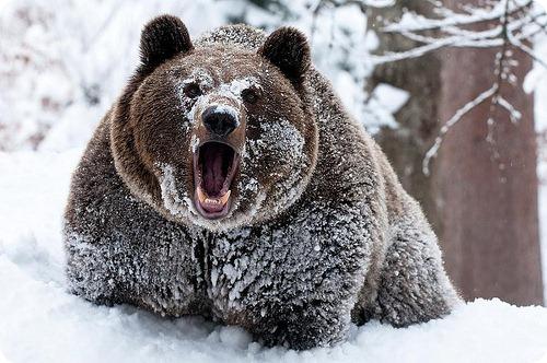 Раны бурых медведей заживают во время спячки