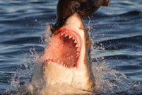 Неудачная атака белой акулы