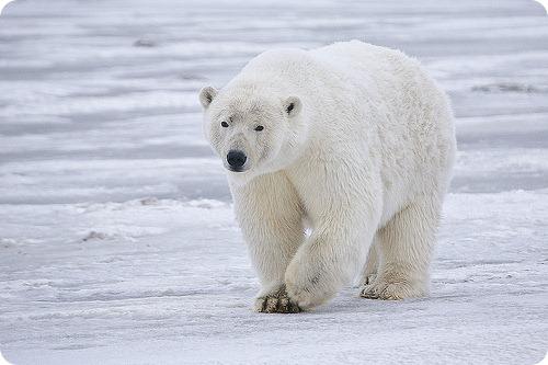 Белого медведя хотят защитить в ООН
