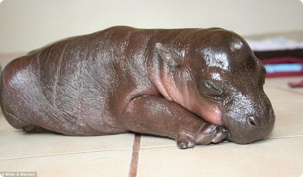 Малыш карликового бегемота Гарри