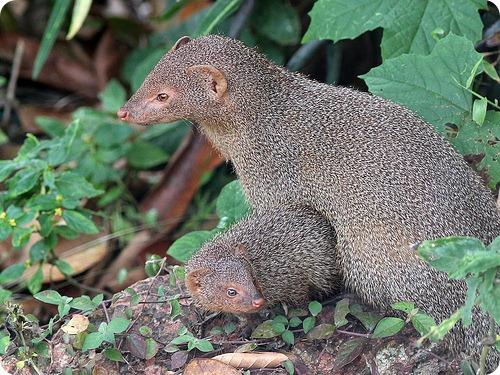 Обыкновенный мангуст или Индийский серый мунго