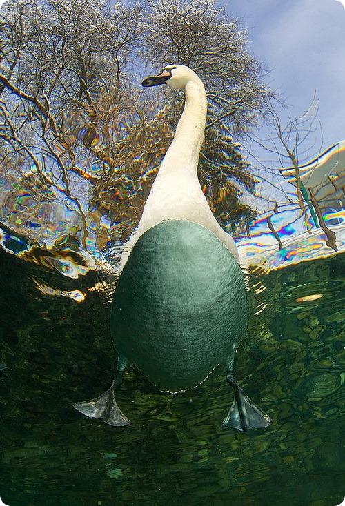 Зачем лебедю длинная шея?