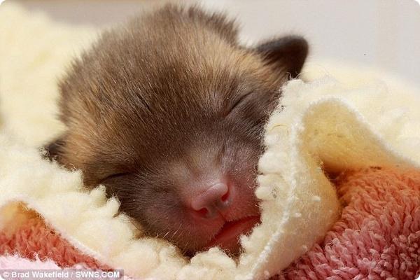 В Великобритании спасли ещё одного лисёнка