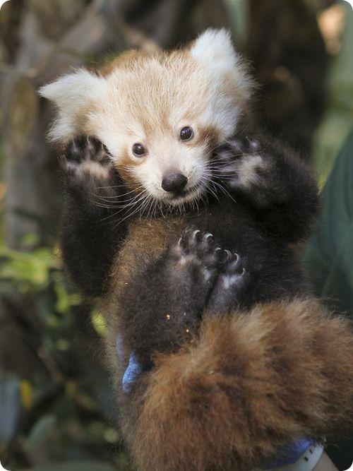 Малые панды из Перта