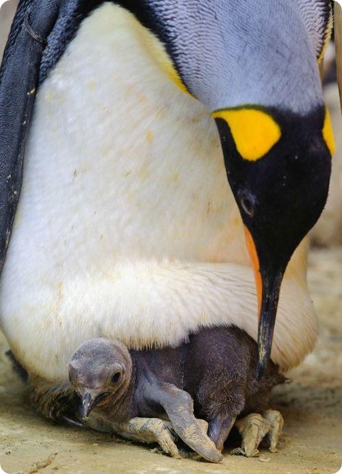 Королевские пингвины из Сент-Луиса