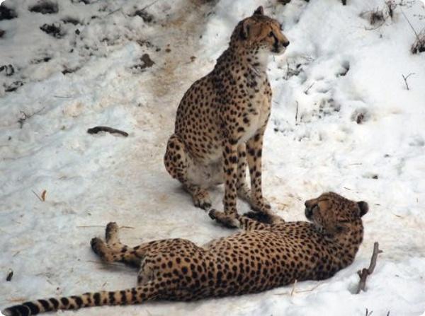 Две самочки гепарда из ЮАР знакомятся с уральской зимой