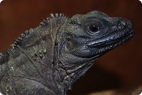 Молуккская парусная ящерица (Hydrosaurus amboinensis)