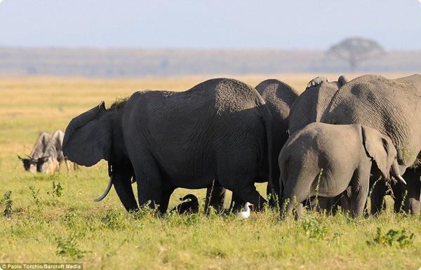 Стадо защищает слониху и малыша во время родов