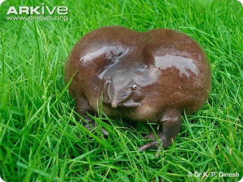 Пурпурная или лиловая лягушка (лат. Nasikabatrachus sahyadrensis)