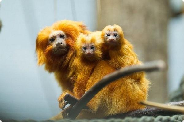 В зоопарке Швейцарии родились детёныши золотистой игрунки