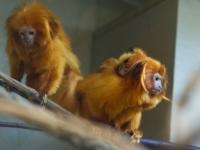 В зоопарке Швейцарии родились золотистые игрунки
