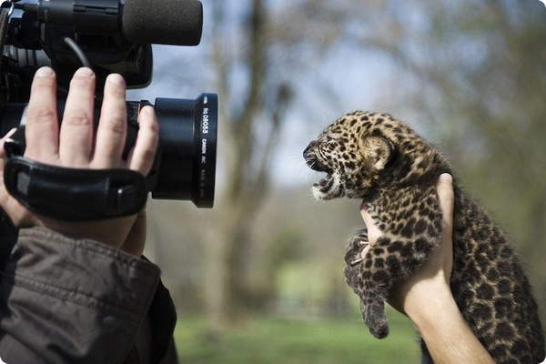 В Nyíregyházi zoo родился детёныш африканского леопарда