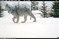 Редкие фотографии канадской рыси