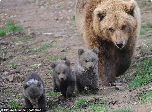 Трое медвежат из немецкого парка дикой природы