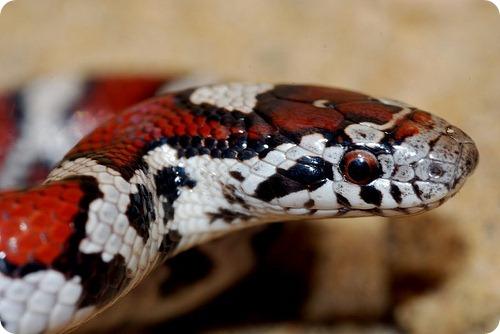 Королевские или молочные змеи
