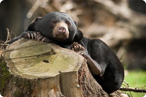 Малайский медведь или Бируанг