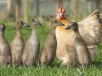 Курица Хильда и её утята
