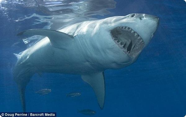 А вы бы смогли пощекотать акулу?