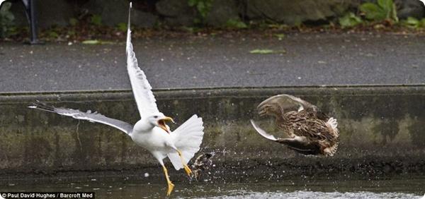 Схватка утки и чайки!